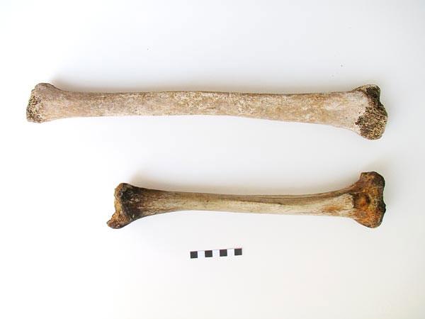 Một đoạn xương chày của bộ xương khổng lồ (trên) tại thành phố cổ Fidenae, Italy và đoạn xương chày của một người đàn ông thời La Mã.