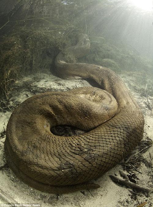 Con trăn khổng lồ dài 8m