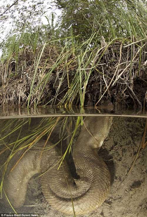 Trăn khổng lồ ẩn mình dưới mặt nước