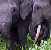 Indonesia: Thêm 3 con voi Sumarta chết vì nhiễm độc