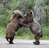 Cảnh cảnh trận boxing của gấu xám
