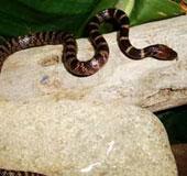 Phát hiện một loài rắn khuyết mới ở Lào