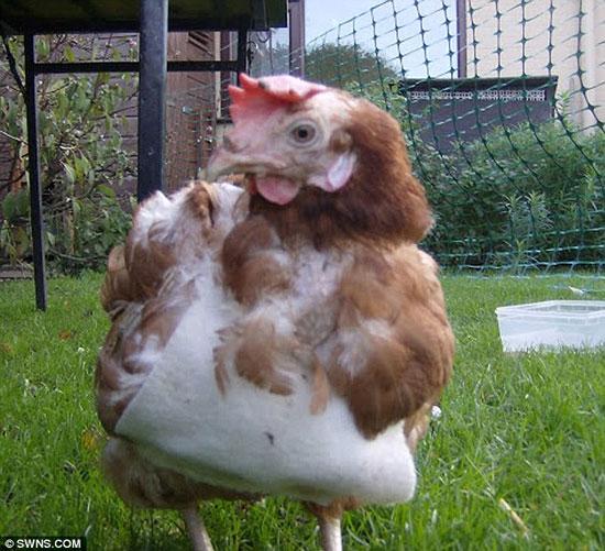Gà JJ khiến những con gà khác phải nể phục