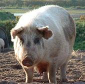 Giải mã gene lợn nuôi phục vụ cho y học và chăn nuôi