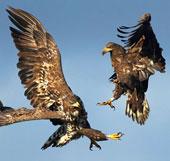 Ảnh đẹp động vật: Đại bàng đánh nhau trên không