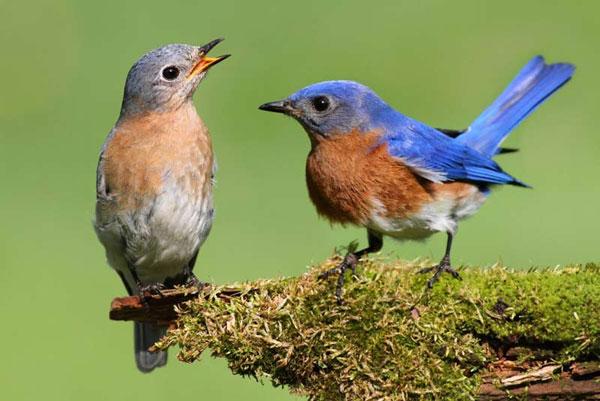 """Chim cũng biết """"ngoại tình"""" và """"ghen tuông"""""""