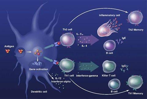 Sơ đồ mô phỏng một phản ứng miễn dịch trong cơ thể người.
