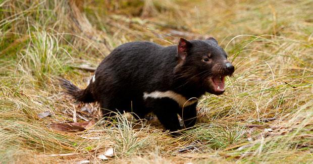 Số lượng loài quỷ Tasmania trong môi trường hoang dã tại Australia giảm tới 91% sau khi bệnh u mặt bùng phát và lây lan.