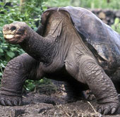 Rùa George quá cố vẫn còn họ hàng