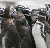 Mô hình đám đông chim cánh cụt tụ tập để chia sẻ hơi ấm