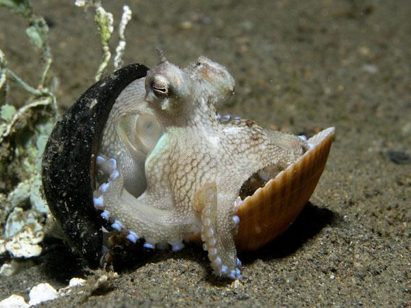 Kỹ năng xây nhà của bạch tuộc