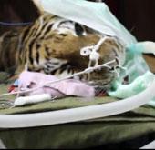 Video: Nha sĩ chữa răng cho hổ