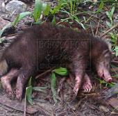 Động vật lạ tấn công người ở Indonesia