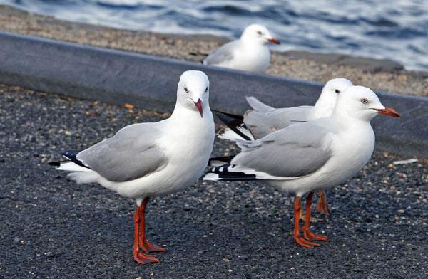 Chim mòng biển chân nhạn