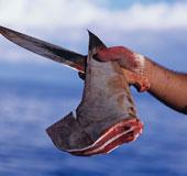 Liên minh châu Âu cấm cắt vây cá mập
