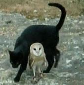 Video: Cú trắng, mèo đen chơi đuổi bắt với nhau