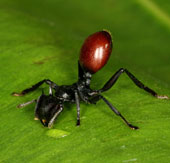Video: Loài kiến có khả năng bay trên không