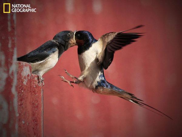 Chim nhạn mẹ cho chim con ăn khi đang bay lơ lửng giữa không trung.