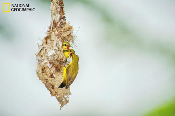 Chim mẹ mớm mồi cho 2 chim con trong tổ.