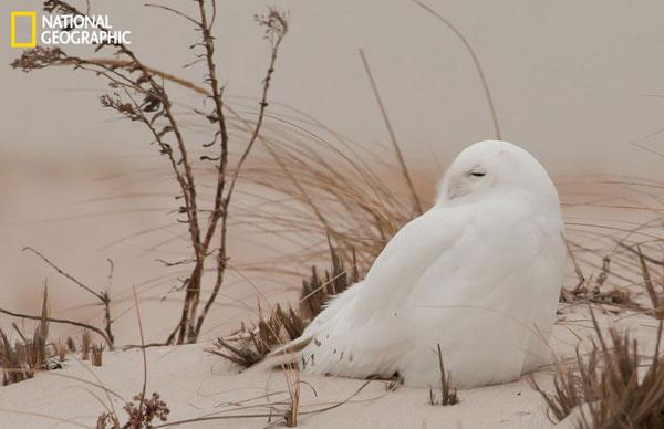 Một con cú tuyết ngồi co ro giữa trời lạnh ở Jones Beach, New York.
