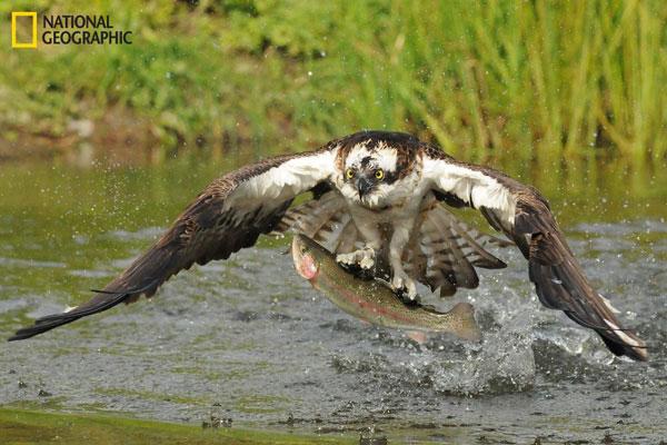 Tác giả Kevin McCarthy mất 2 tuần chờ đợi ở Kangasala, Phần Lan mới chụp được bức ảnh tuyệt đẹp về chú chim ưng bắt mồi hồi tháng 9.