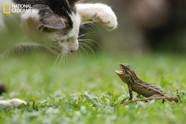 Con thằn lằn nhỏ bé không hề sợ hãi khi bị con mèo đe dọa.