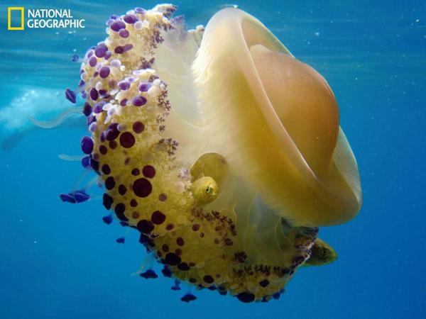 Cận cảnh một con sứa gần bãi đá ở ngoài khơi đảo Lefkada, Hy Lạp.