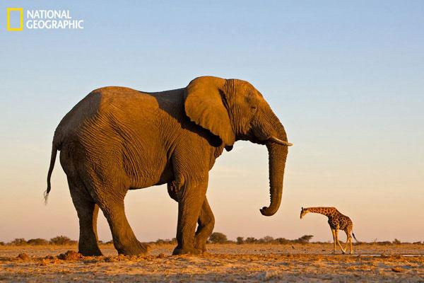 Một chú voi đứng cạnh một con hươu cao cổ ở Công viên Quốc gia Etosha, Namibia. (