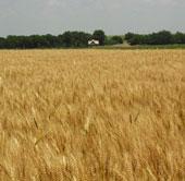 Khoa học Mỹ giải mã thành công bộ gene của lúa mỳ