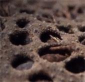 Video: Xem loài cóc kỳ quái sinh con từ lưng