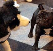 Chó vẫy đuôi để biểu hiện cảm xúc