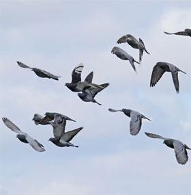 Chim bồ câu ngửi mùi không khí để tìm đường