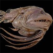 Loài thủy quái cứ giao phối là bị dính liền vĩnh viễn