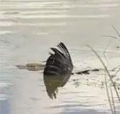 """Video: Kền kền mất mạng sau cú đớp """"điện giật"""" của cá sấu"""