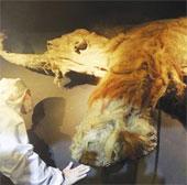 Trưng bày voi ma mút 39.000 năm trước