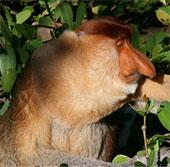 Kỳ lạ loài khỉ có mũi dài ngoẵng và nhại lại như bò