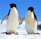 Loài chim cánh cụt đã xuất hiện từ 20 triệu năm trước