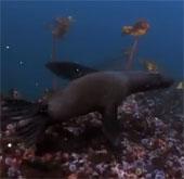 Video: Sư tử biển bị nghiền nát trong hàm cá mập