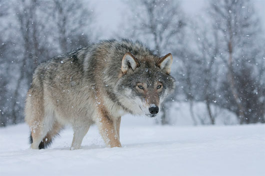 Chó nhà có nguồn gốc từ sói Châu Âu