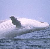 Phát hiện loài cá voi hiếm chết trên bờ biển ở Ba Lan