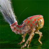 """Loài côn trùng mới phát hiện có """"mái tóc điện giật"""""""