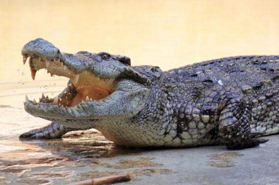 Da cá sấu giúp phát hiện con mồi đang bơi
