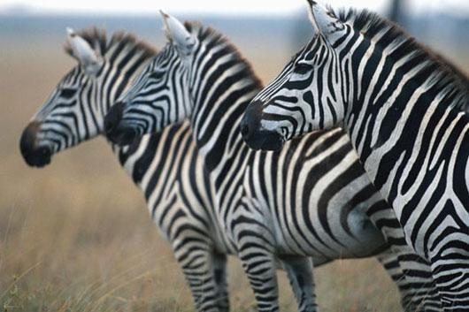 Sọc của ngựa vằn dùng để đánh lạc hướng