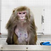 Ấn Độ: Triệt sản khỉ làm loạn thành phố