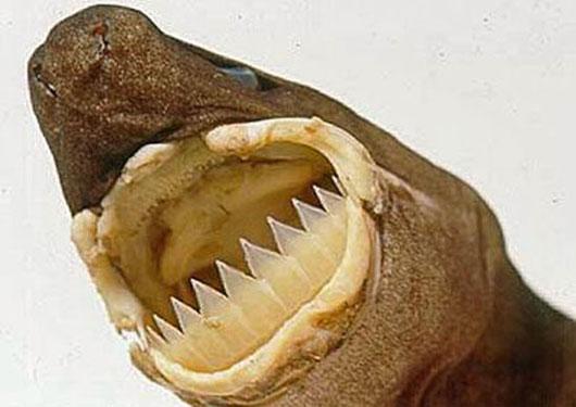 Cá mập Cookiecutter