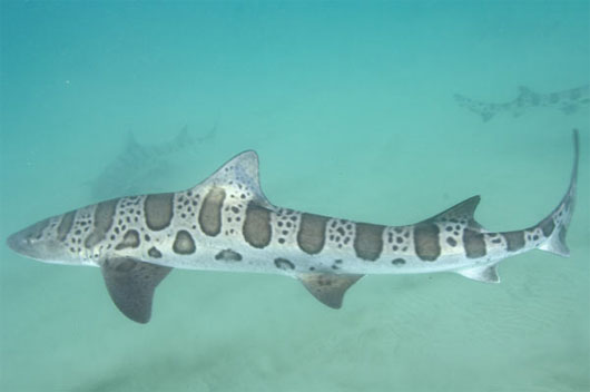 Cá mập vằn