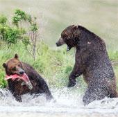 Cận cảnh gấu xám đánh nhau kinh hoàng