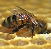 Huấn luyện ong phát hiện bệnh ung thư