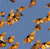 Biến đổi khí hậu làm gián đoạn mùa bay của loài bướm