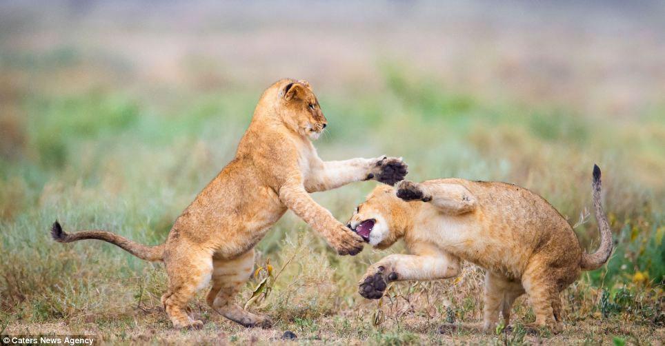 Vũ điệu hoang dã của sư tử